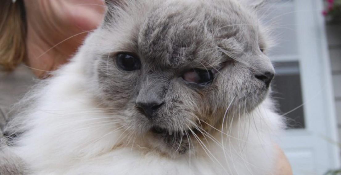 Двумордый кот Фрэнк и Луи умер