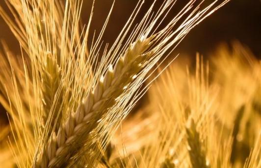 Россия ввела ограничительную пошлину на экспорт зерна