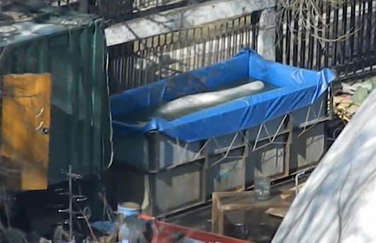 Белухи три дня томились в тесных контейнерах дельфинария