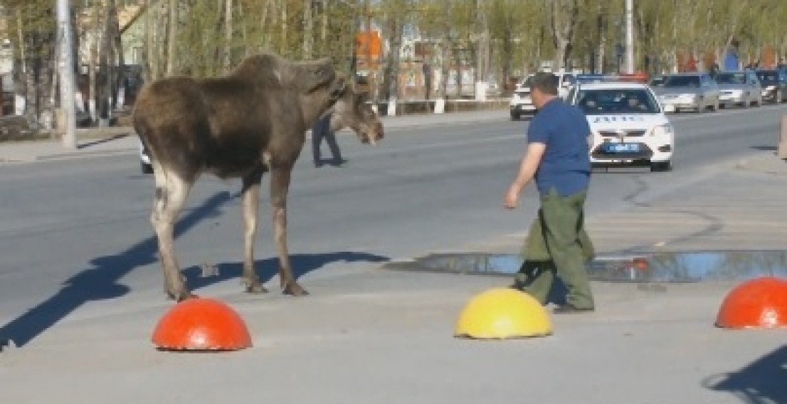 На улицах Тюмени прогуливался лось. Видео