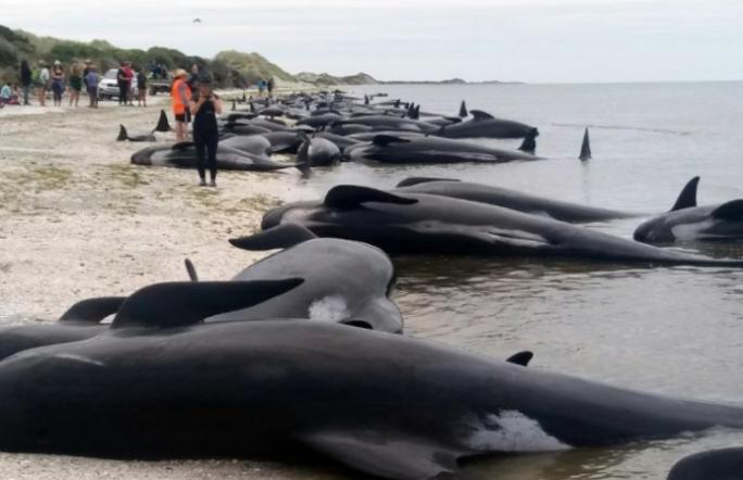 В Новой Зеландии более 400 китов выбросились на берег